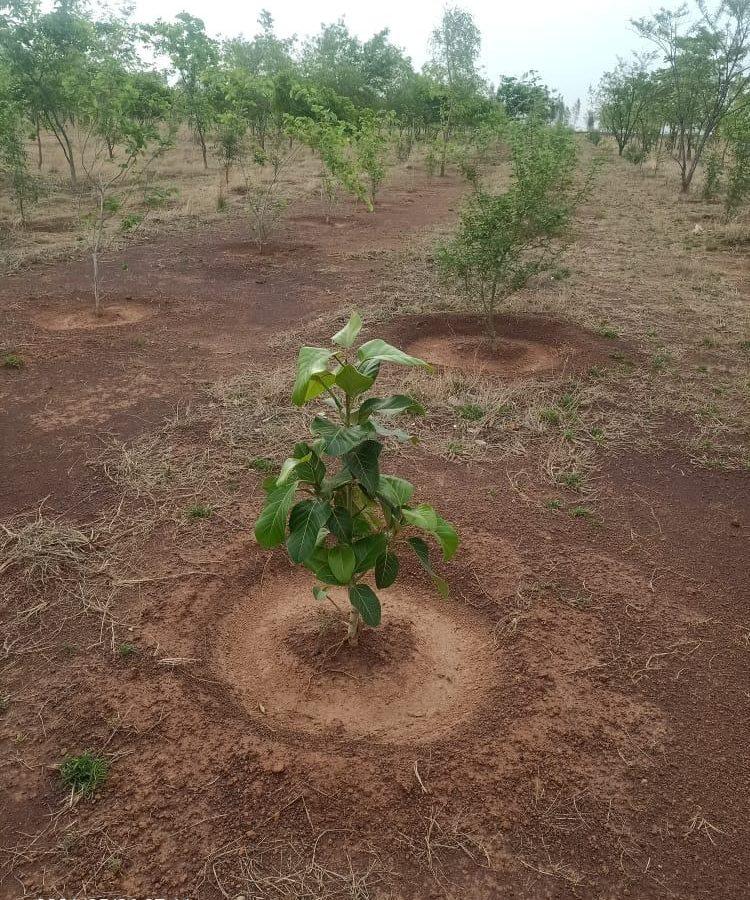 रायपुर : वन मंत्री श्री अकबर ने पौध रोपण कार्य को गति के साथ पूर्ण करने दिए निर्देश :  वन विभाग द्वारा किया जा रहा एक करोड़ पौधे का रोपण