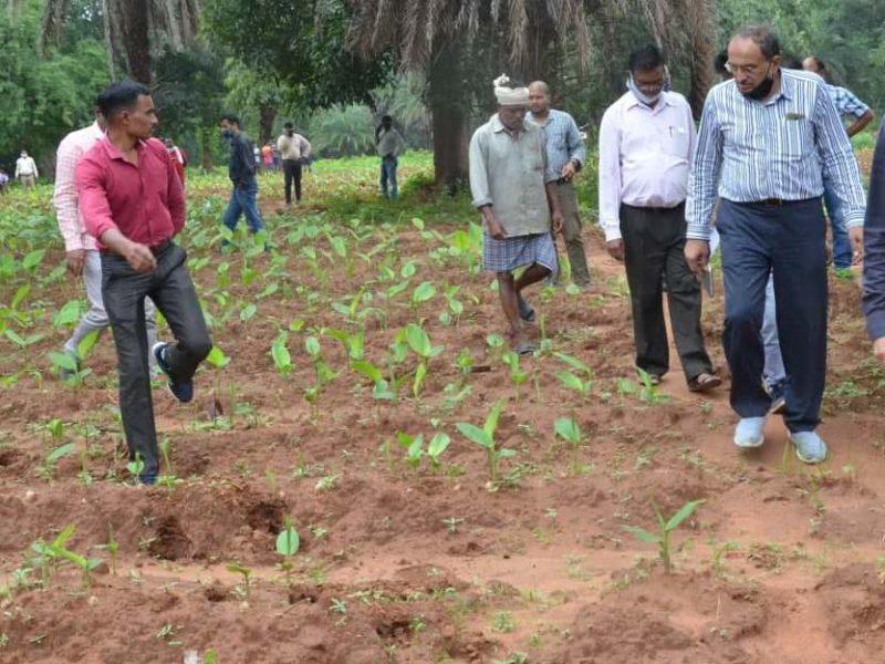नारायणपुर  : अदरक, हल्दी, तिखूर, पपीता, केला, मुनगा उगाने के लिए  उत्साहित होकर आगे आ रहे है जिले किसान