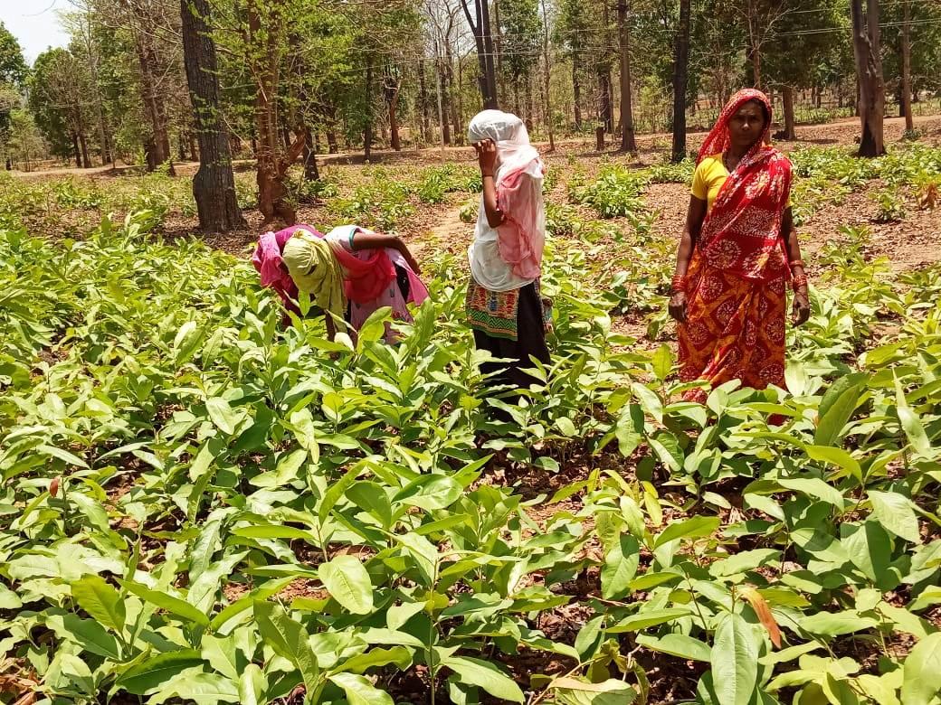 हरा सोना संग्रहण ने दिलाई कोरोना संकट में आर्थिक चिंता से राहत