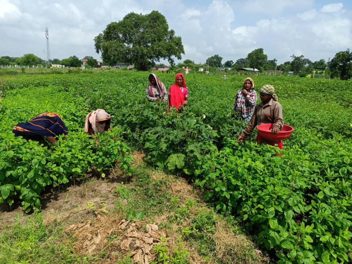 रायपुर : स्वसहायता समूह अमलडीहा की महिलाएं बढ़ रही है स्वावलंबन की ओर : सब्जी उत्पादन कर बढ़ा रही है अपनी आमदनी