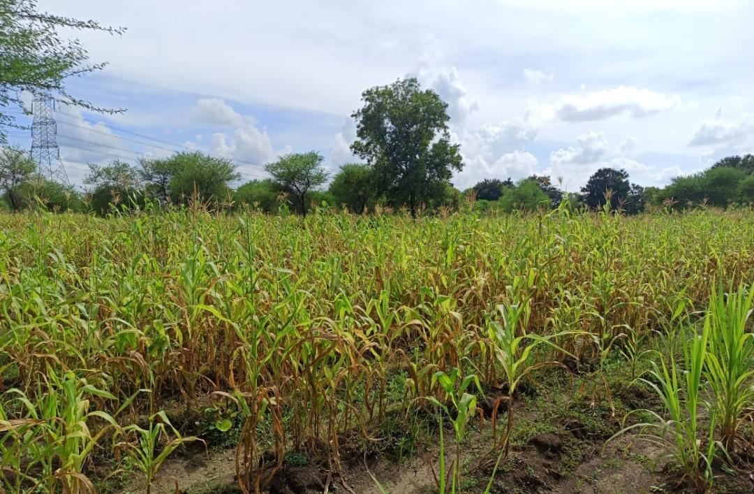 लगभग 4500 गौठानों में 10 हजार एकड़ में हाईब्रिड नेपियर एवंहरे चारे की बुआई